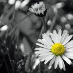 dandelion daisy